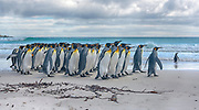 Flock of king penguins (Aptenodytes patagonicus patagonicus) on the beach of Volunteer Point, East Falkland Island.