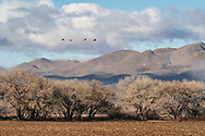 Sandhilll Cranes fly over field in Bosque del Apache Wildlife Refuge in New Mexico with Chupadera Mountains in the background. Winter. Morning,