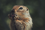 An Arctic Ground Squirrel (Uroticellus parryii) licks it's paws. Yukon Territory, Canada
