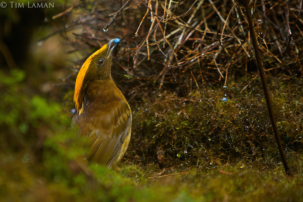 Male Yellow-fronted Bowerbird (Amblyornis flavifrons) male displaying to a female at his bower by holding a blue fruit in his bill and keeping on the opposite side of the bower from the female.