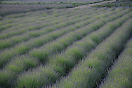 Lavender By the Bay Farm, East Marion, Long Island, New York