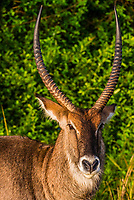 A male waterbuck (antelope), Queen Elizabeth National Park, Uganda.