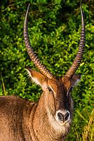 A male waterbuck (antelope), Queen Elizabeth National Park, Uganda.