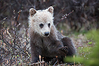 Grizzly bear cub in the Canadian Rockies