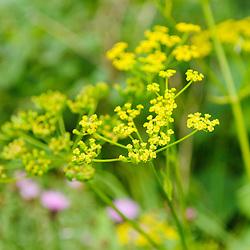 Apiaceae, Schermbloemenfamilie