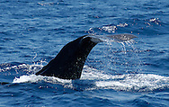 Sperm whale. ( Physeter macrocephalus).North Atlantic Ocean.