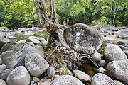 Tree roots growing amongst the boulders of the Mossman riverbed, Daintree Rainforest, Queensland, Australia