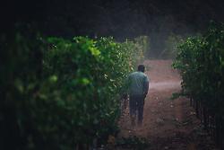 Vineyard worker at VJB estate winery