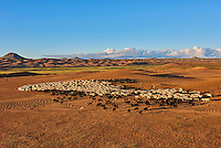 Mongolie, Province de Zavkhan, troupeaux de mouton dans des dunes de sable dans la steppe mongole // Mongolia, Zavkhan province, sheep herd in the deserted landscape of sand dunes in the steppe
