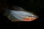 Pearl Gourami, Trichogaster leeri, male