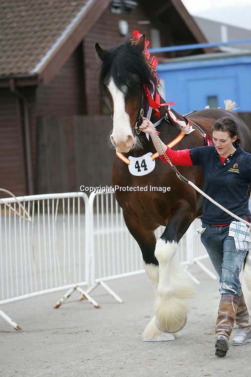 Shire Horse Society Spring Show 2012<br /> Mr L E Harrison's Cumeragh House Desperate Dan   f 2008  s Trem-Y-Wyddfa Mascot   d Cumeragh House Miss Kitty  Bred by owner  Barnard Castle, County Durham<br /> Winner of the Four Year Old Stallion Class