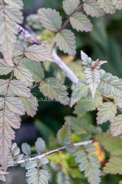 Rubus thibetianus 'Silver Fern'
