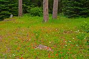 Orange Hawkweed or devil's paintbrush (Hieracium aurantiacum)  and daisies at edge of boreal forest<br />Kenora<br />Ontario<br />Canada