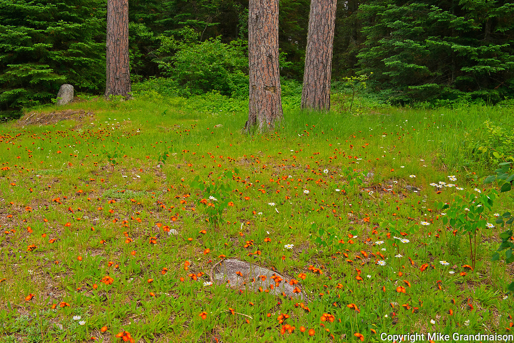 Orange Hawkweed or devil's paintbrush (Hieracium aurantiacum)  and daisies at edge of boreal forest<br />