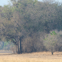 Two puku grazing in South Luangwa National Park, Zambia.