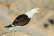 Kelp Gull calling, De Hoop Nature Reserve and marine protected area, Western Cape, South Africa