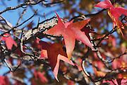 Autumn leaves at Lake Como, Italy