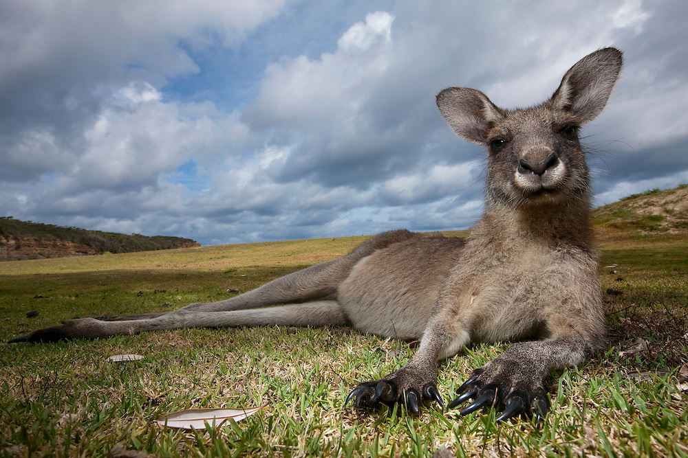 Australia, New South Wales, Murramarang National Park, Eastern Gray Kangaroo (Macropus giganteus) resting on beach grass