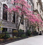 Dogwood blossoms at the church of St. Ignatius Loyola on Park Avenue and 83rd street in New York City.