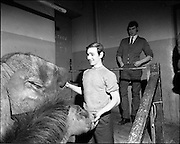 03/01/1969.01/03/1969.03 January 1969.Elephant at the Gaiety Theatre, Dublin.