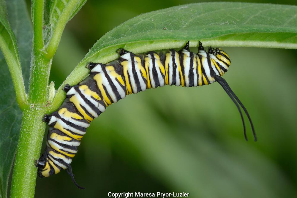 Monarch larvae or caterpillar, (see caterpillar egg on leaf) Danaus plexippus,  Florida