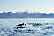 Pilot whales (Globicephala sp.) off the coast of Snaefellsnes penninsula, Iceland
