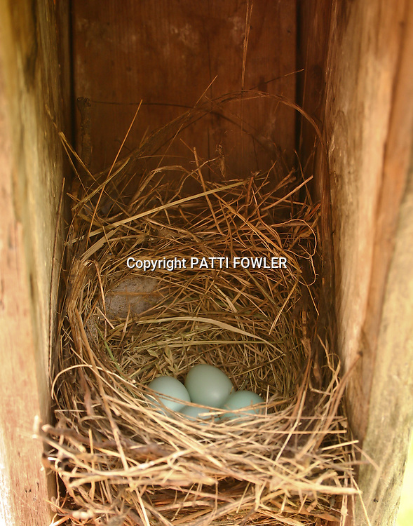 Bluebird eggs in nest box