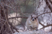Rock Hyrax, (Procavia capensis) Photographed in Israel in January