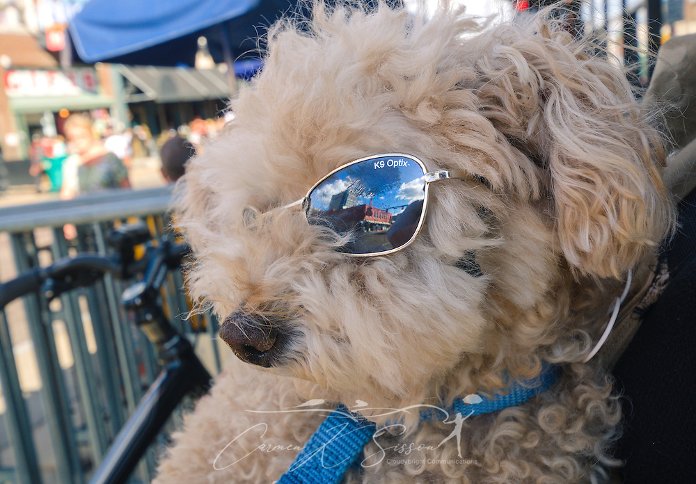 Sparky, a toy poodle, gazes at Beale Street from behind his K9 sunglasses, Sept. 12, 2015, in Memphis, Tennessee. Sparky is owned by Jackie McDowell, of Albuquerque, New Mexico. (Photo by Carmen K. Sisson/Cloudybright)