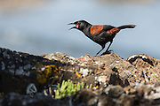 Listen for the song of the saddleback – it sounds like the Maori name for the bird – 'tie-e ke-ke-ke-ke'.