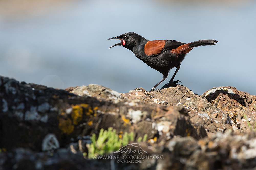 Listen for the song of the saddleback – it sounds like the Maori name for the bird – 'tie-e ke-ke-ke-ke'.