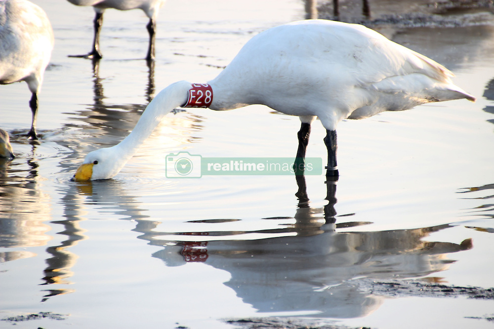 December 12, 2016 - Rongcheng, Rongcheng, China - Rongcheng,CHINA-December 12 2016: (EDITORIAL USE ONLY. CHINA OUT) ..Whooper swans in Rongcheng, east China's Shandong Province, December 12th, 2016. Thousands of whooper swan fly to Rongcheng for winter every year. Four whooper swans with rings engraved with international markings can be seen in Rongcheng this year. (Credit Image: © SIPA Asia via ZUMA Wire)