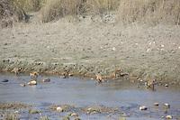 Rhesus Macaques (Macaca mulatta) feeding on a riverbank in Bardia National Park, Nepal