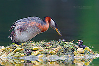 Red-necked grebe with newborn chicks on a nest