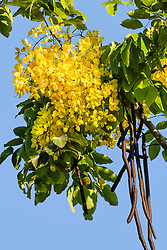 Cassia fistula, Golden Shower Tree #9