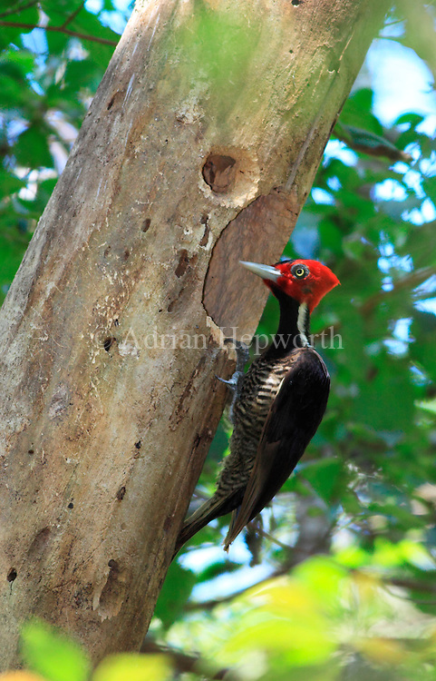 Pale-billed Woodpecker (Campephilus guatemalensis) female at nest hole. Curu Wildlife Refuge, Costa Rica. <br />