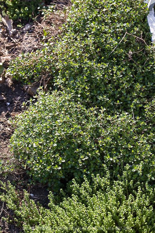 Thymus vulgaris, garden thyme