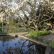 Magnolia Tree, Cotswolds