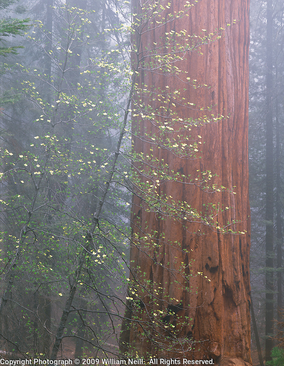 Blooming dogwood and Giant Sequoia in the fog, Sequoia National Park, California
