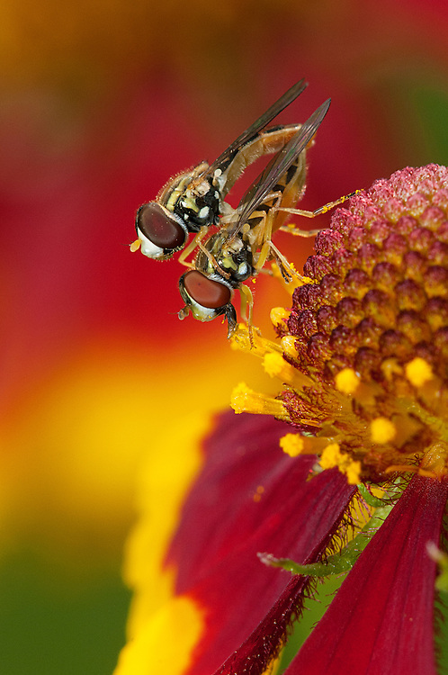 Hover Flies or Flower Flies, Family Syrphidae;<br /> Photographer:  Robert Rommel <br /> Property:  Sick Dog Ranch / Mitchell &amp; Dianne Dale, Michael Dale<br /> Jim Wells County