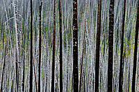 WA15238-00...WASHINGTON - Ghost trees, tree skeletons, remains of a massive forest fire in Loomis State Forest along Road 150.