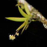 Trizeuxis falcata Lindl. an orchid near the Interoceanic highway in Peru