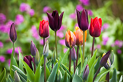 Tulipa 'Havran', 'Prinses Irene' and 'Couleur Cardinal' in the oast garden