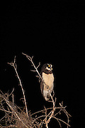 Spectacled Owl (Pulsatrix perspicillata)<br /> Yupukari<br /> Rupununi<br /> GUYANA<br /> South America<br /> RANGE: Mexico and Trinidad  south to southern Brazil, Paraguay  and northwestern Argentina.<br /> Largest Tropical Owl.