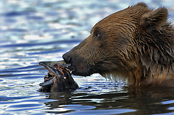 Kamchatkan Brown bears eat sockeye salmon in Kurilskoye Lake in the southern tip of the Russian peninsula August 7, 2007. The salmon and bears are both threatened as poachers and hunters pay large sums in a depressed economy.