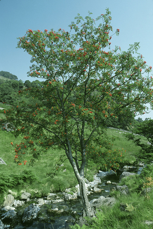 Rowan Sorbus aucuparia Rosaceae Height to 20m <br /> Open, deciduous tree. Bark Silvery-grey, smooth. Branches Ascending with purple-tinged twigs and hairy buds. Leaves Pinnate, with 5–8 pairs of ovate, toothed leaflets, each to 6cm long. Reproductive parts Flowers to 1cm across with 5 white petals; in dense heads. Fruits rounded, scarlet, in clusters. Status Locally common native; also widely planted.