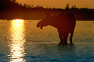 Vereinigte Staaten von Amerika, USA, 2001: Auf der Suche nach Wasserpflanzen als Futter steht eine Elchkuh (Alces alces americana) im First Roach Pond bei Kokajo. | United States of America, USA, 2001: Moose cow, Alces alces americana, feeding on water plants standing in the water of the First Roach Pond near Kokajo, at sunset, Maine. |