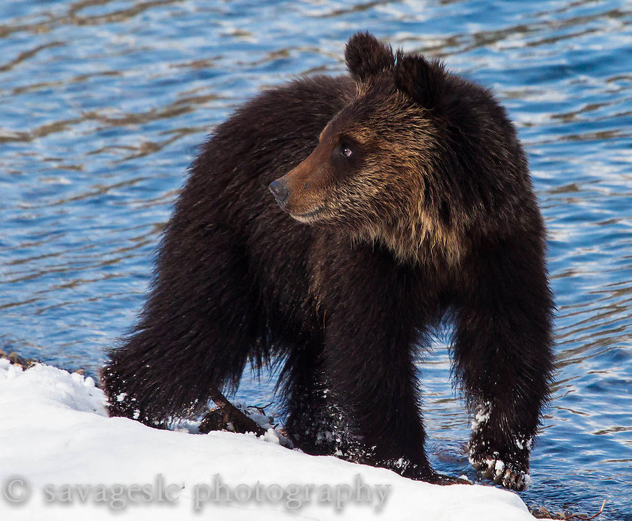 A grizzly looks behind him on the shores of Yellowstone Lake