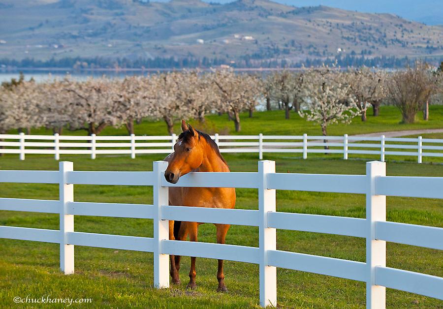 Horse poses by Flathead Cherry orchard near Polson, Montana, USA