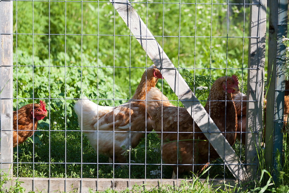 Chickens in the garden behind a wire fence .he chickens are an organic form of insect control.